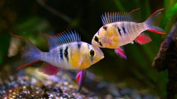 Бабочка боливийская совместимость с другими рыбками