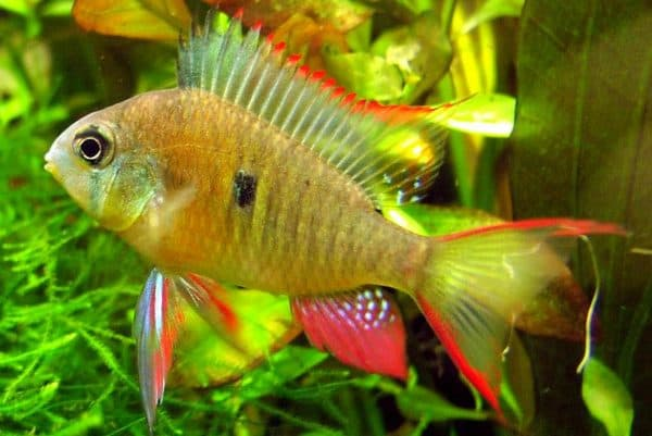 Бабочка боливийская в аквариуме