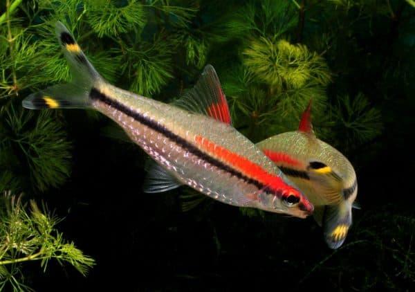 Барбус денисони - красивая рыбка