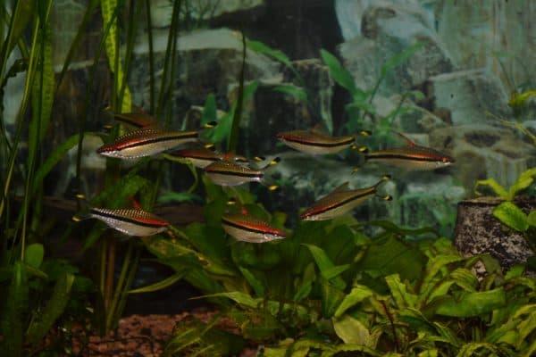 Барбус денисони - прекрасная рыбка в аквариуме