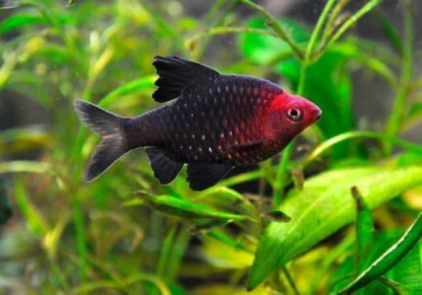 Черный барбус - прекрасная рыбка