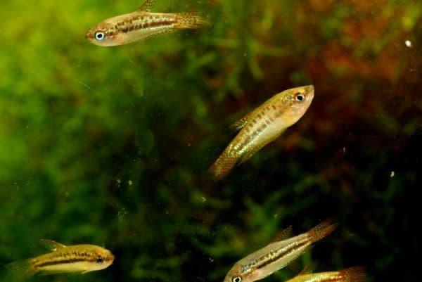 Гурами карликовый - красивая рыбка в аквариуме