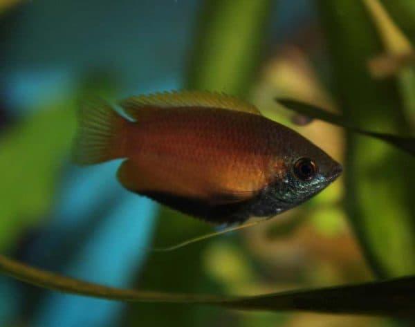 Гурами медовый - красивая рыбка