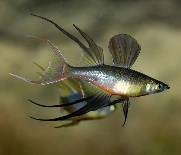 Ириатерина Вернера - красивая рыбка для аквариума
