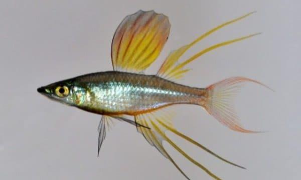 Ириатерина Вернера - прекрасная рыбка в аквариуме