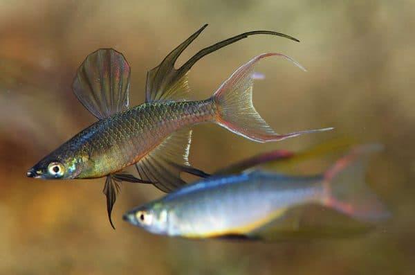 Ириатерина Вернера - удивительная рыбка для аквариума