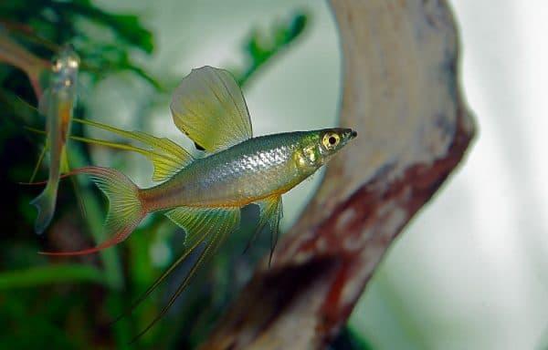 Ириатерина Вернера в аквариуме
