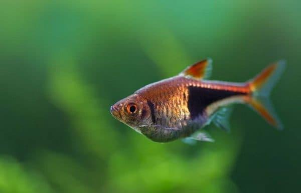 Клинопятнистая расбора - красивая рыбка