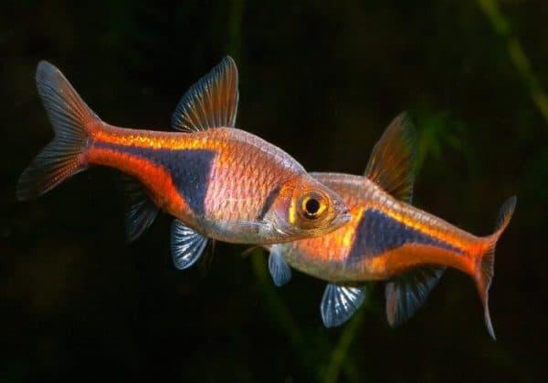 Клинопятнистая расбора - красивая рыбка в аквариуме