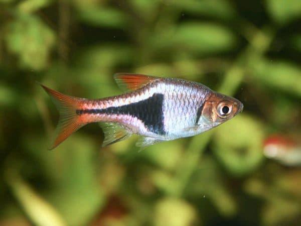 Клинопятнистая расбора - удивительная рыбка