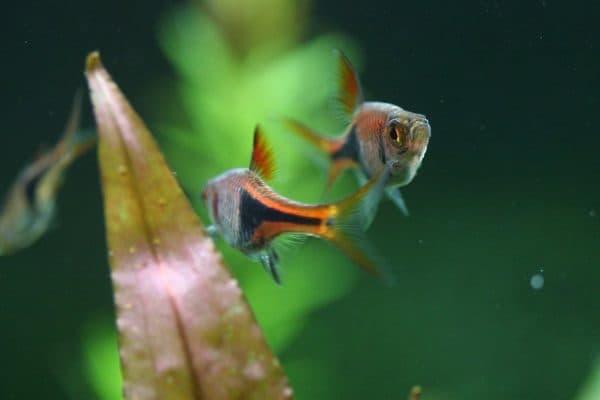 Клинопятнистая расбора - удивительная рыбка в аквариуме