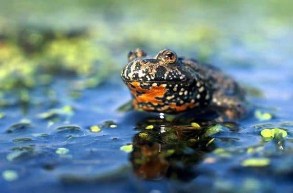 Краснобрюхая жерлянка - превосходная лягушка