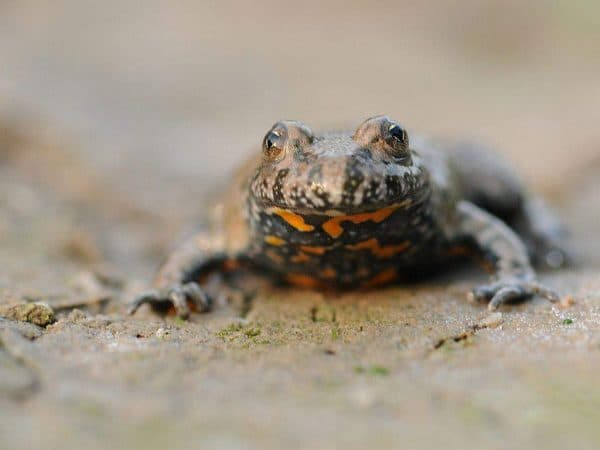 Краснобрюхая жерлянка - яркая лягушечка