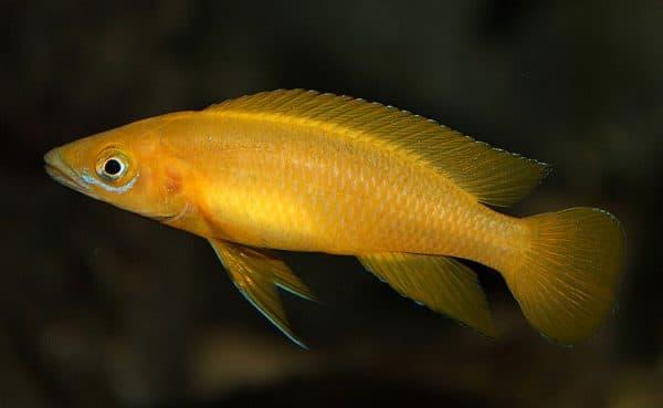Лампрологус апельсиновый