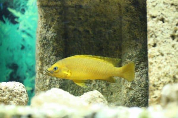 Лампрологус апельсиновый фото