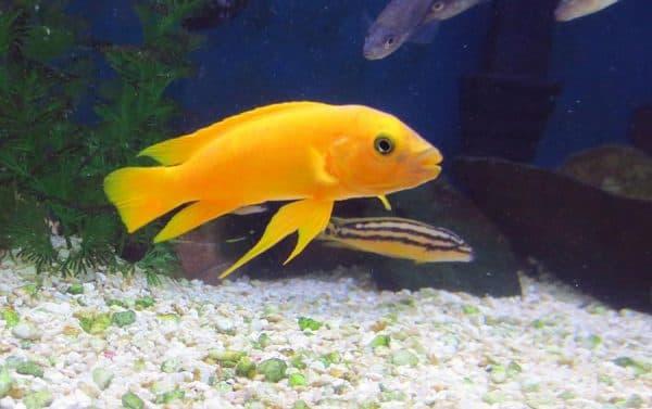 Лампрологус апельсиновый - красивая рыбка
