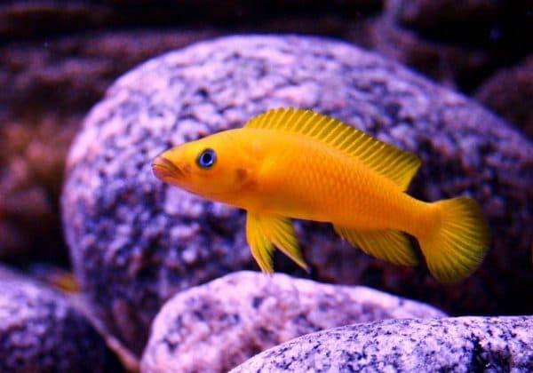 Лампрологус апельсиновый - красивая рыбка в аквариуме