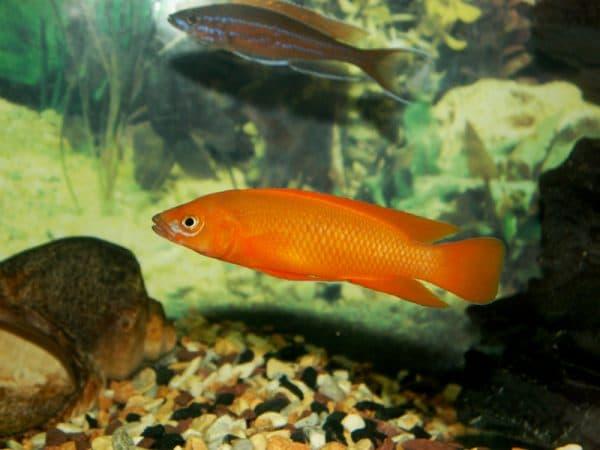 Лампрологус апельсиновый на фото