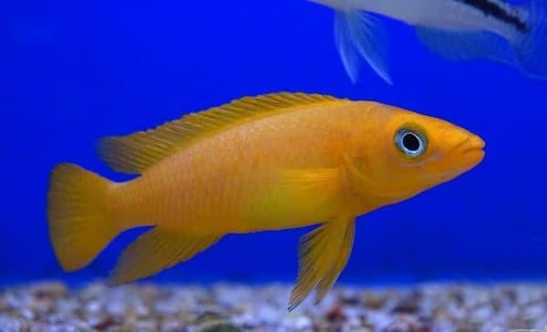 Лампрологус апельсиновый описание