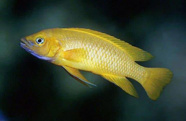 Лампрологус апельсиновый - прекрасная рыбка