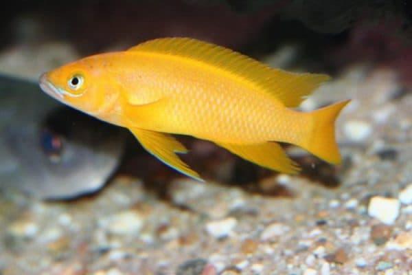 Лампрологус апельсиновый - прекрасная рыбка в аквариуме