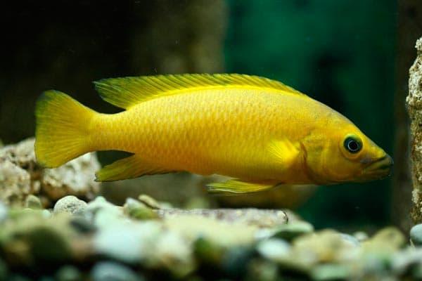 Лампрологус апельсиновый размножение
