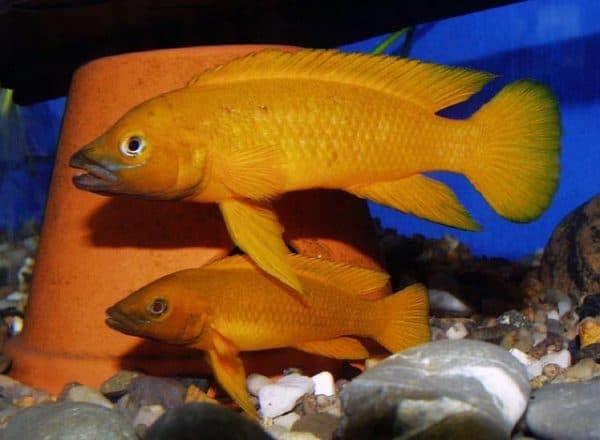 Лампрологус апельсиновый содержание