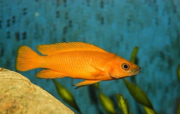 Лампрологус апельсиновый - удивительная рыбка