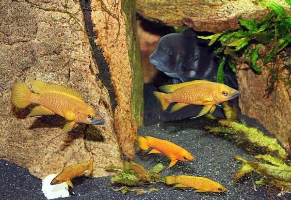 Лампрологус апельсиновый в аквариуме