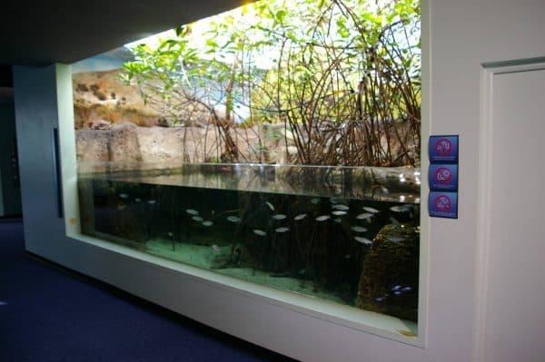 Mangrovaya koryaga v akvariume