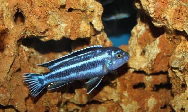 Меланохромис майнгано - красивая рыбка