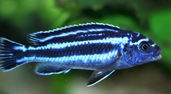 Меланохромис майнгано - красивая рыбка в аквариуме