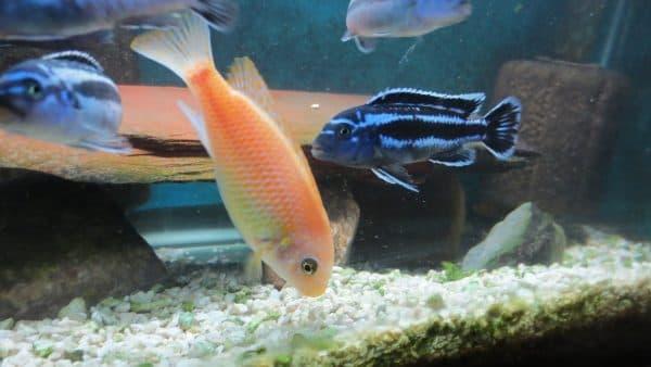 Меланохромис майнгано - прекрасная рыбка