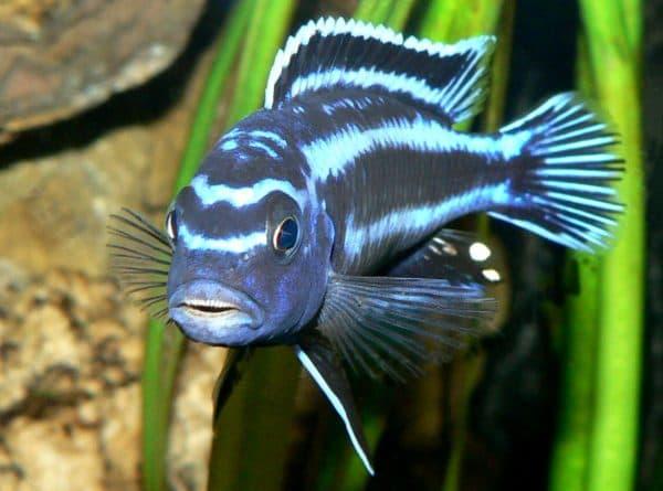 Меланохромис майнгано - удивительная рыбка