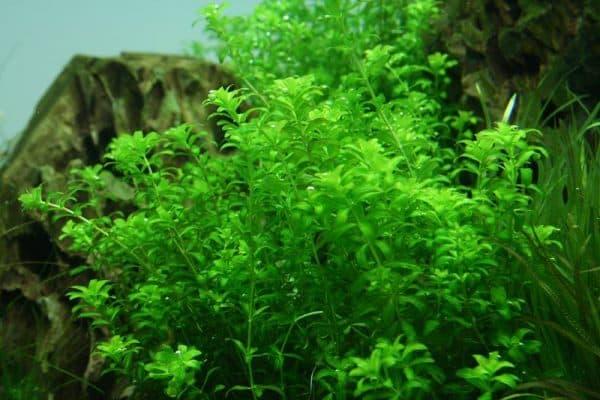 Микрантемум - красивое растение для аквариума