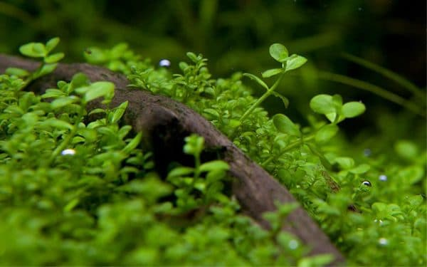 Микрантемум - красивое растение в аквариуме