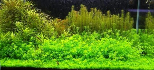 Микрантемум - прекрасное растение для аквариума