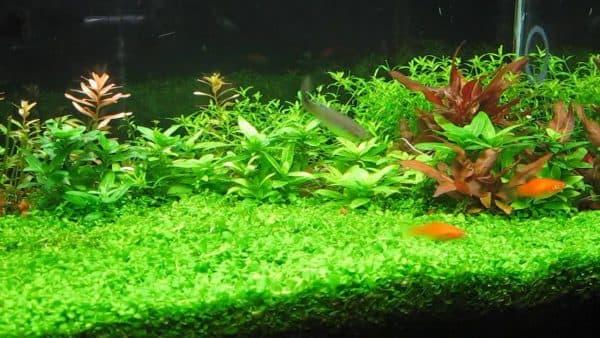 Микрантемум в аквариуме