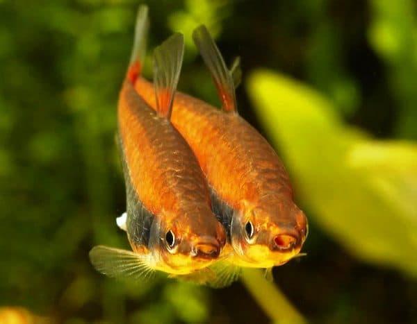 Нанностомус бекфорда - удивительная рыбка