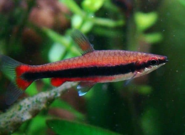 Нанностомус бекфорда в аквариуме