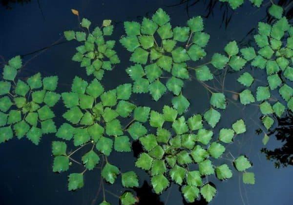 Орех водяной фото