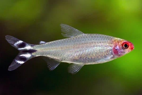 Родостомус - красивая рыбка