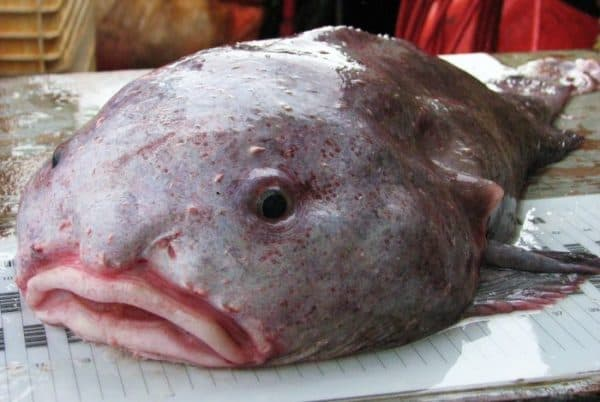 Рыба-капля - удивительная рыбка