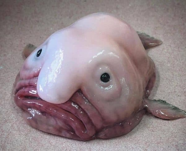 Самая необычная глубоководная рыба