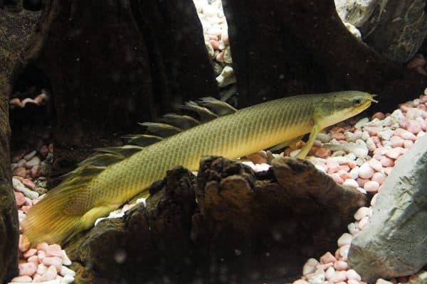 Сенегальский многопер в аквариуме