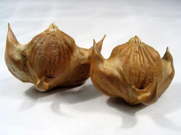 Водяной орех (чилим) на фото