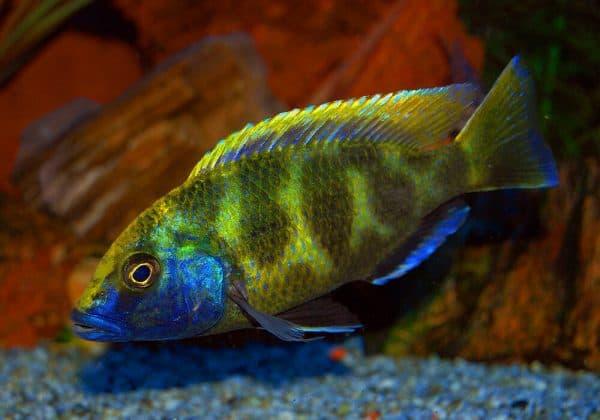 Золотой леопард - красивая рыбка