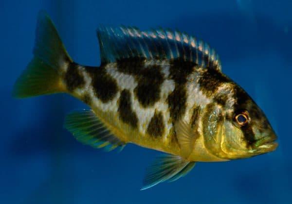 Золотой леопард - красивая рыбка в аквариуме