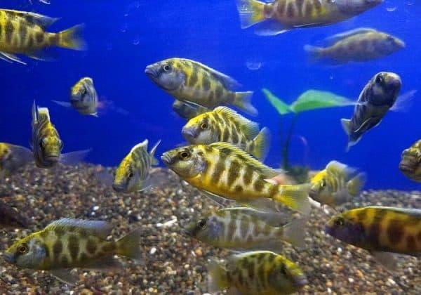 Золотой леопард - прекрасная рыбка
