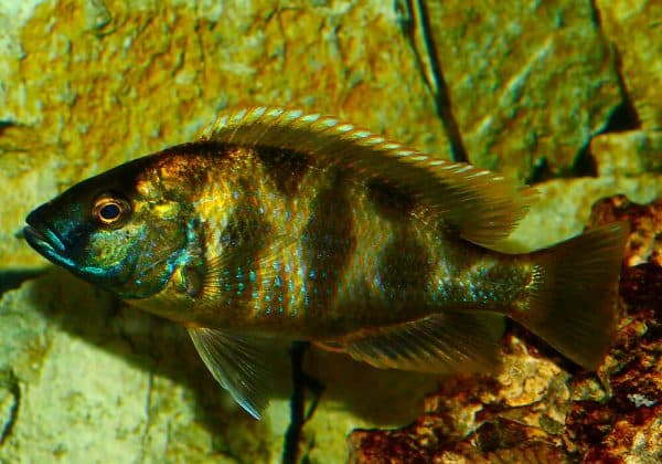 Золотой леопард - прекрасная рыбка в аквариуме